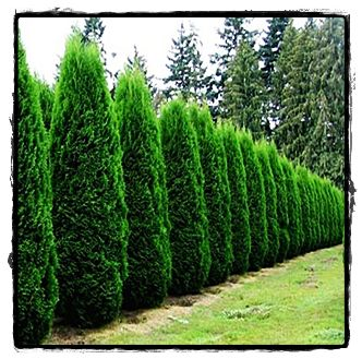 Thuja occidentalis 'Smaragd' Emerald Green Arborvitae    Stays narrow - 4' wide, 10-15' tall, part shade.