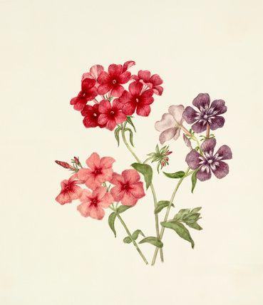 Phlox drummondii, Applebee, Caroline Maria (c.1799-1854) (Artist)