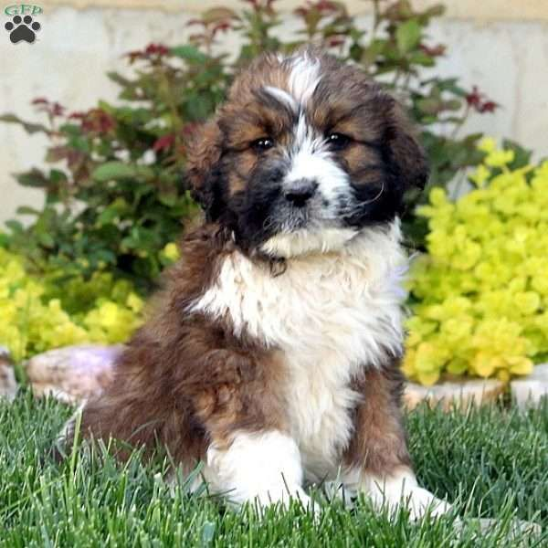 Abe Saint Berdoodle Puppy For Sale In Pennsylvania St