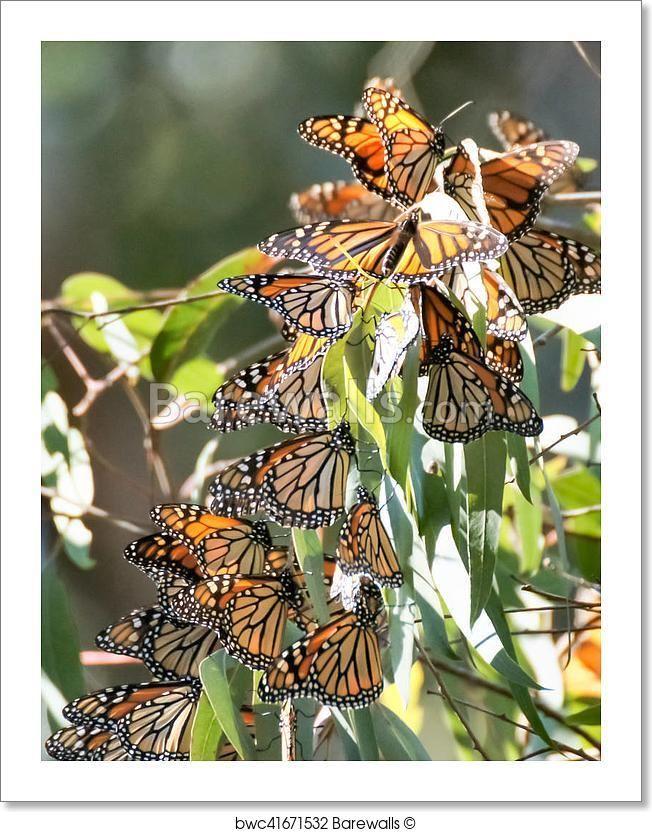 Art print POSTER Monarch Butterfly