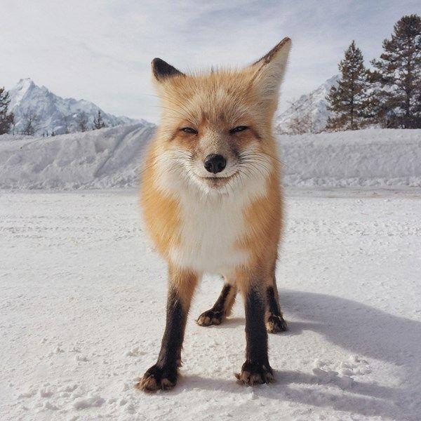 De mooiste dierenfoto is deze vos van Michael O'neal. 'Hij stond in het midden van de weg. Ik haalde zowel mijn iPhone als mijn spiegelrefle...