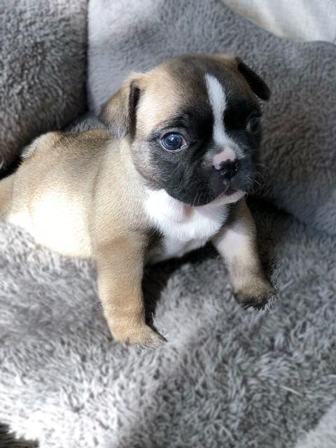 French Bulldog Puppy For Sale In West Palm Beach Fl Adn 59693 On