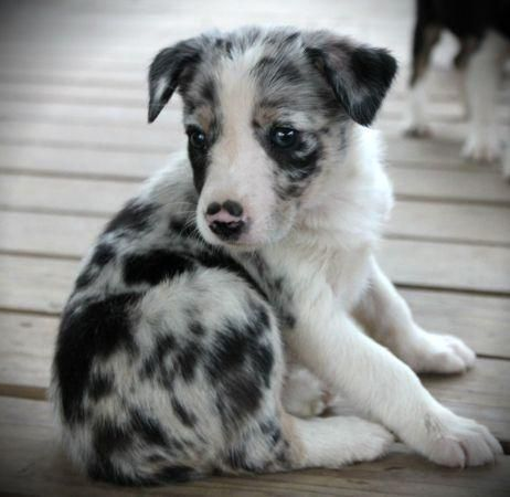 Blue merle border collie puppies for sale