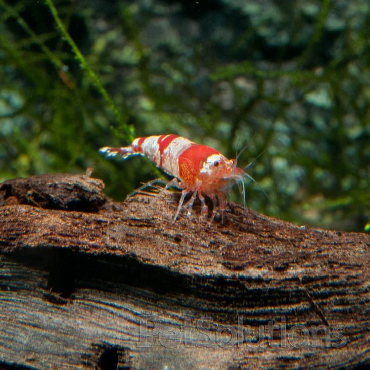 11 best images about Creating Ornamental Shrimp Tanks on ...Freshwater Shrimp Care