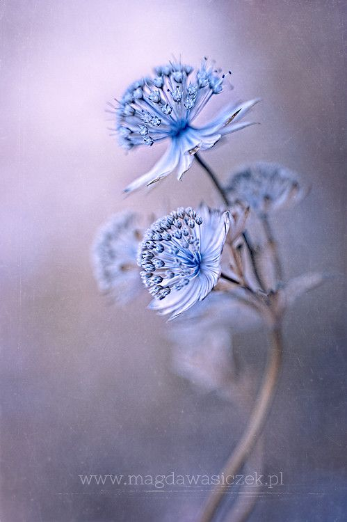 Blue Astrantia
