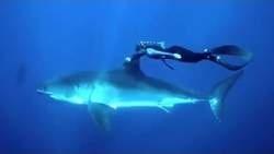 Video: Vrouw lift mee met een grote witte haai op de vin | komwebcamchatten
