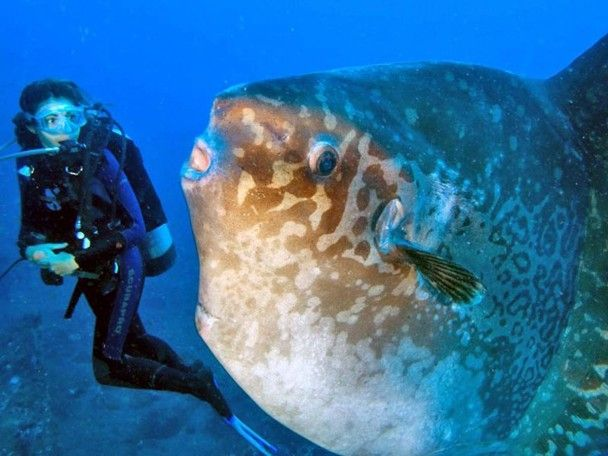 Beautiful Mola Mola Fish In Bali This Looks Huge And Scary