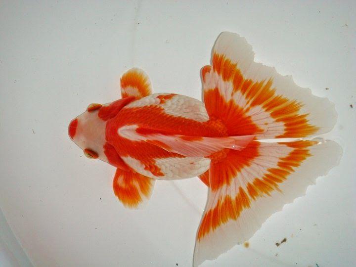 Butterfly Tail Goldfish   Ikan Maskoki Butterfly/ Jikin Goldfish