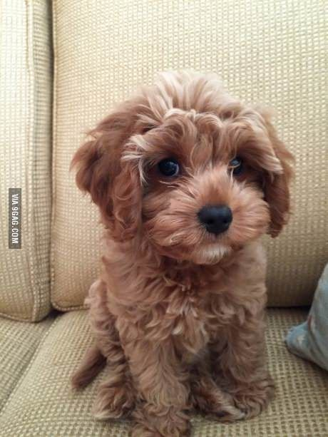 Scarlett, a King Charles Cavalier Spaniel and Poodle mix!