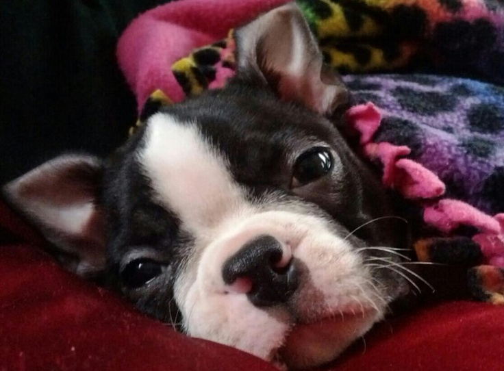 my friends new boston terrier puppy, Henry: Boston Terrier S, Pretty Bostons, Boston Luv, Boston Terriers Love Em, Girls Boston, Buh Bostons, Boston Terrier Puppies, Heart Bostons, Animal