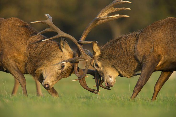 51 Best reindeer images