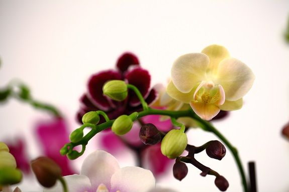 So many varieties of mini orchids!