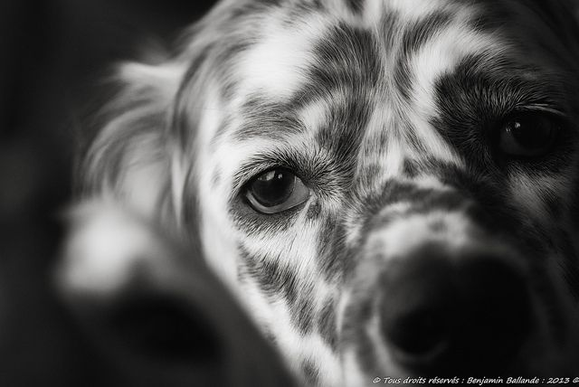 Dog Portrait : Fuji S5 pro by Benjamin Ballande, via Flickr