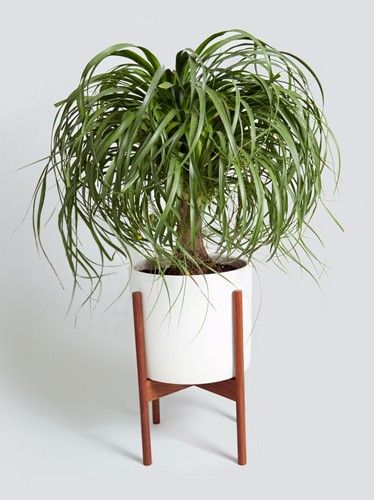 Ponytail Palm and other great indoor plants