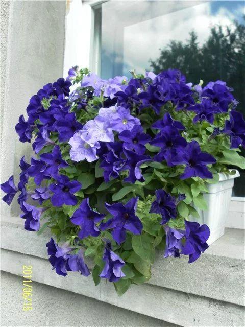 Фото: Фото предоставлено МАРЫСЯ http://flower.wcb.ru/index.php?s=&showtopic=8547&view=findpost&p=649464 Комментарий: но в целом почти как в мечтах