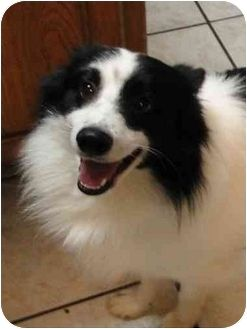 Border Collie/Spitz (Unknown Type, Small) Mix Dog for