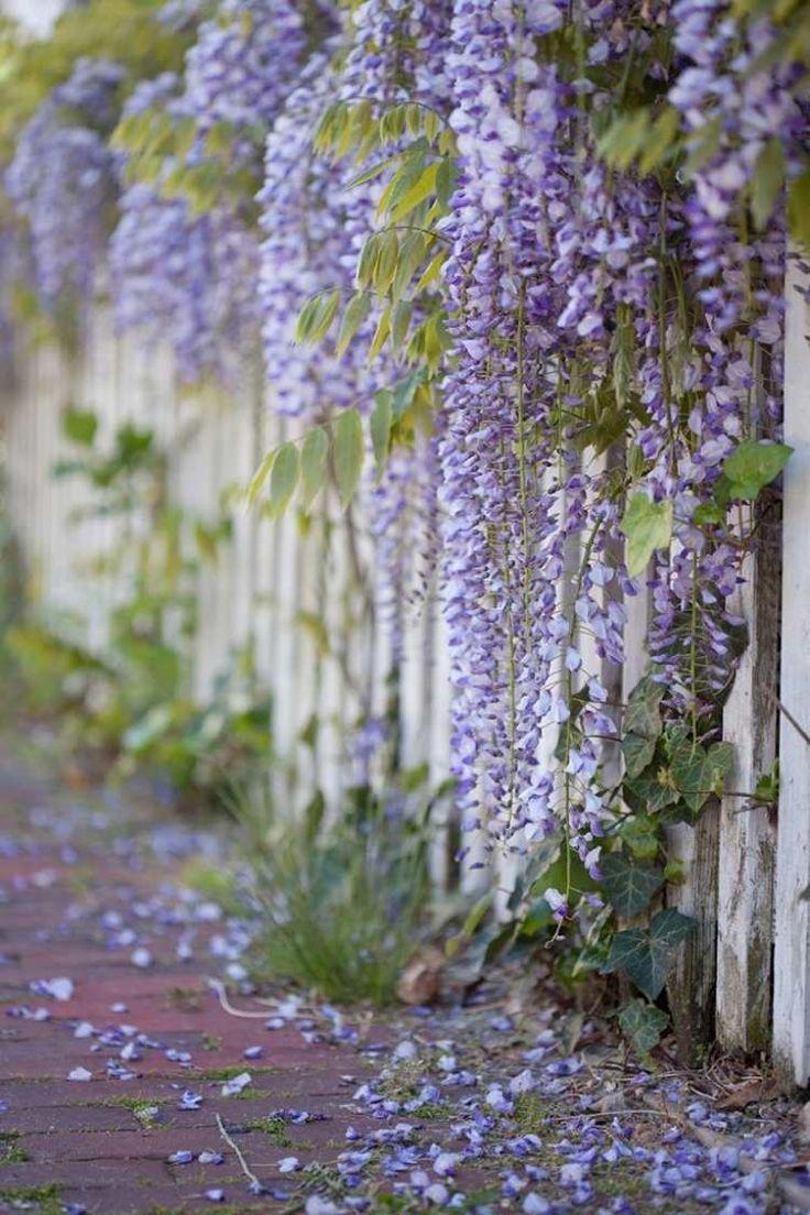 große, prachtvolle Blüten blühten mehrere Wochen lang