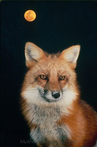 Prepare for your Wildlife Adventure in Grand Lake CO with these amazing facts about the Fox!