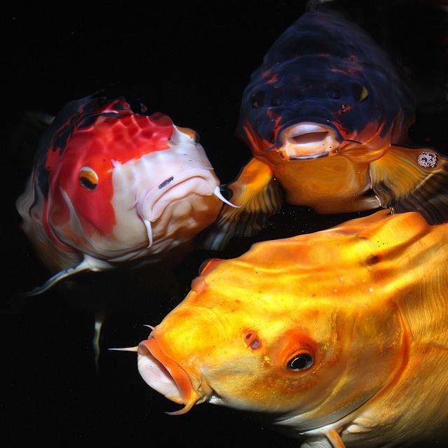38 besten koi bilder auf pinterest wasserfarben fisch for Japanischer kampffisch