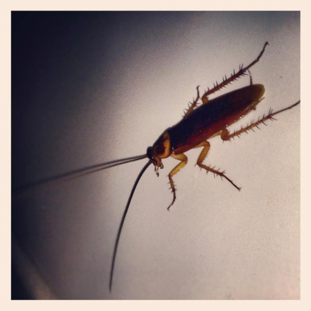 :  Roach