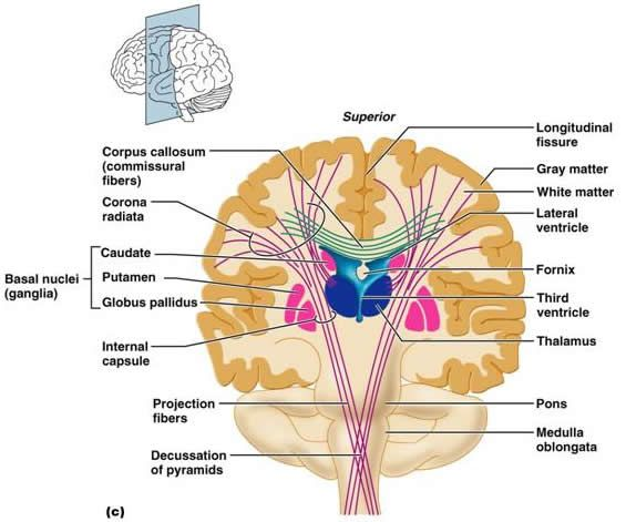 physiology neurobiology The neurobiology, physiology and behavior concentration serves students in the  biological sciences bs degree program with a broad yet rigorous education.