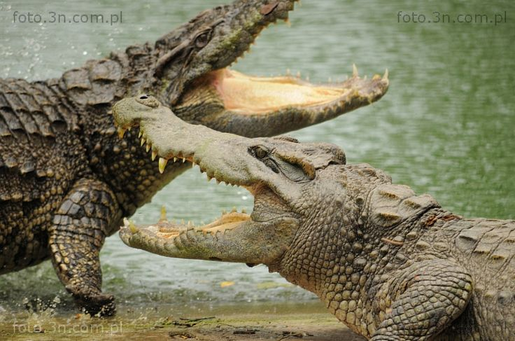 Crocodiles (Asia, Vietnam, crocodile) photos. Online sale of photos for graphic projects, calendars, postcards, wallpapers, Internet, etc.