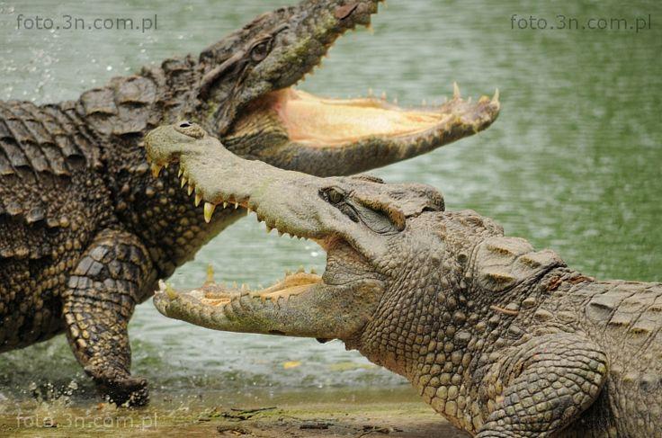 Crocodiles (Asia, Vietnam, crocodile) photos. Online sale of photos for graphic projects, calendars, postcards, wallpapers, Internet, etc.