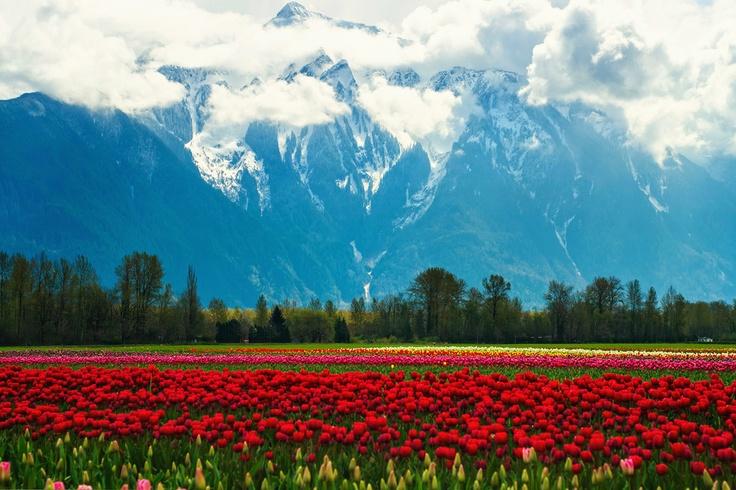 Тюльпановые поля — Гора Mt.Cheam и тюльпановые поля возле городка Agassiz, BC