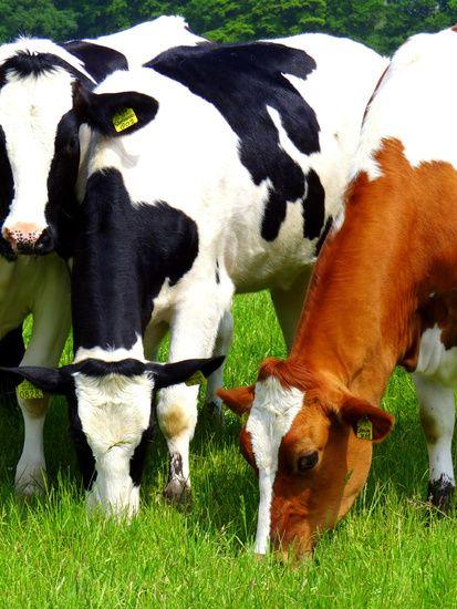 Nieuw in mijn Werk aan de Muur shop: Grazende koeien.