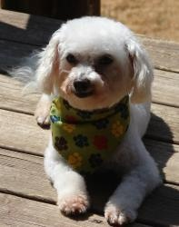 Carson is an adoptable Bichon Frise Dog in Barneveld, WI. Carson is a petite little bichon/toy poodle mix. He only weighs about 10 lbs. and is just a little cutie pie. He was rescued from a puppy mill...