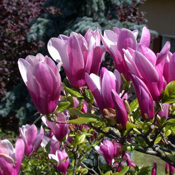 Magnolia `Susan`