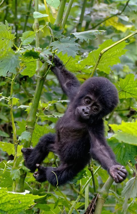 Baby Mountain Gorilla, Bwindi Forest, Uganda by Lynda ...