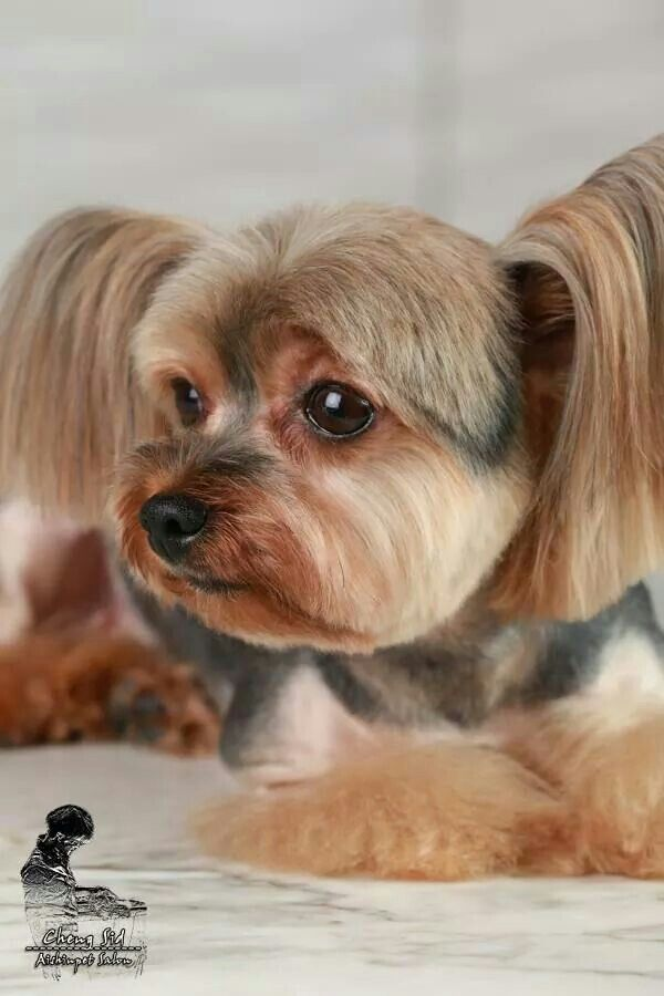grooming styles haircuts 17 best images about grooming inspiration yorkie silky 2670