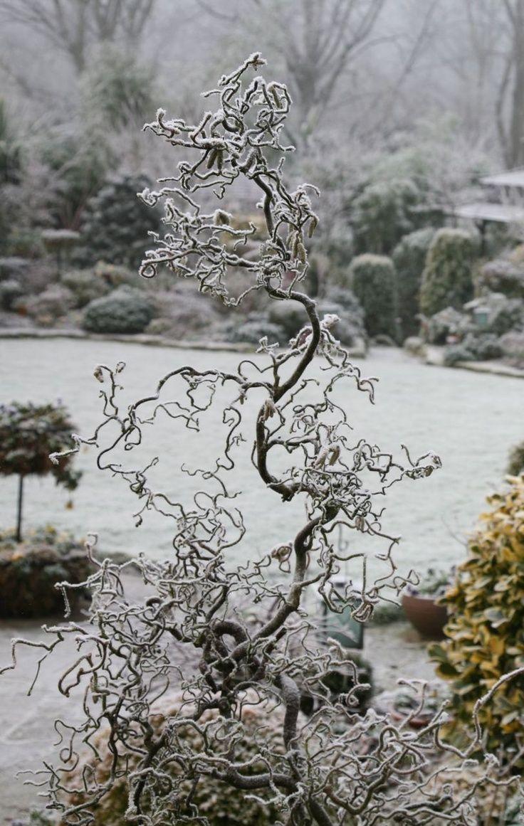 46 best shrubs for the garden images on pinterest garden plants