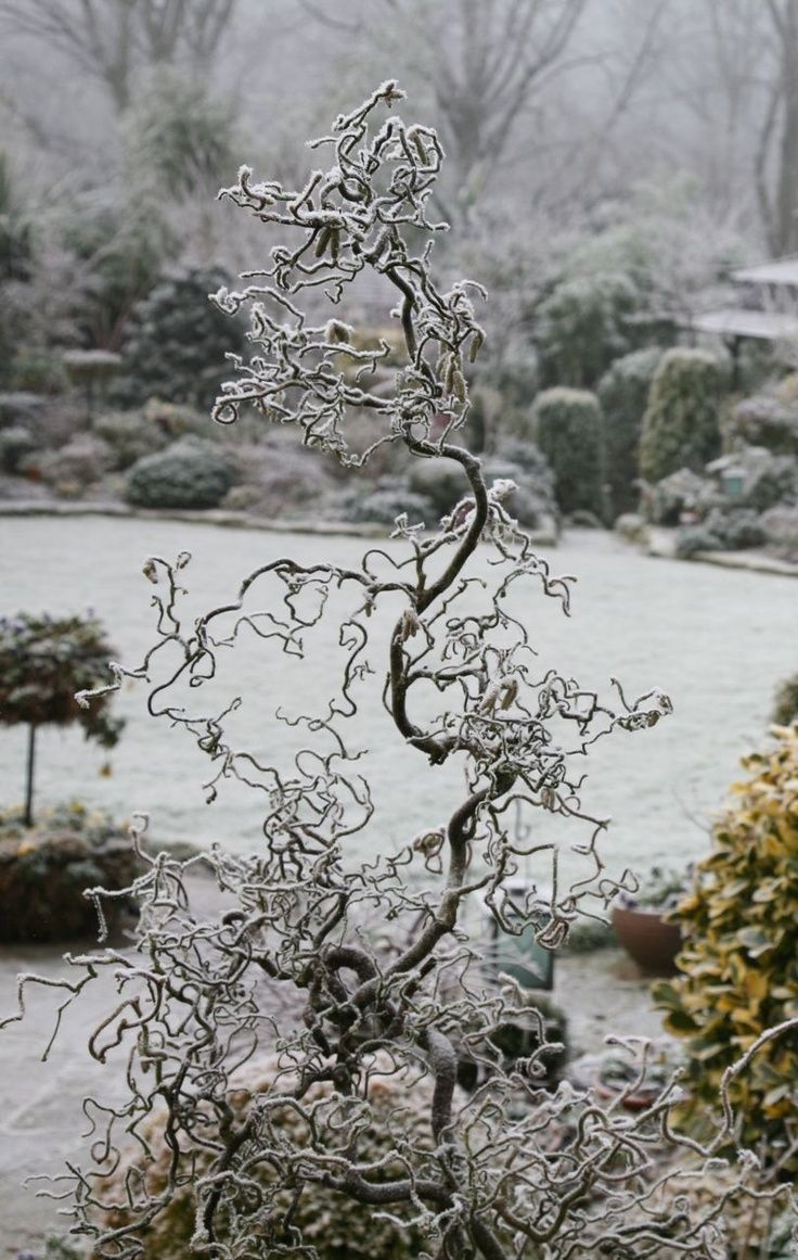 Harry lauder walking stick trees - Frosty Morning Majesty Have You Sorted Out Your Planting Corkscrew Tree Or Harry Lauder S Walking Stick Tree