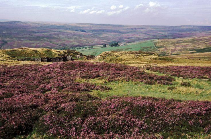 Een van de vele heidenvelden in Nationaal Park Yorkshire Moors (Noord-Engeland), die in de late nazomer het landschap paars laat kleuren. #Engeland #rondreis