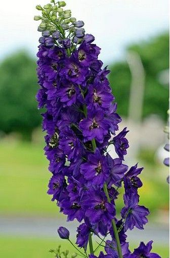 Delphinium flowers :) hanging from my celings with chineese lantern lights