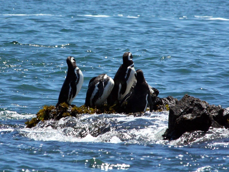 Pinguinos Chiloé Island.Chile. www.selectlatinamerica.co.uk