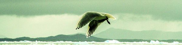 #wildlifepatagonia seagull by pato blanche, via Behance | https://www.patoblanche.tumblr.com
