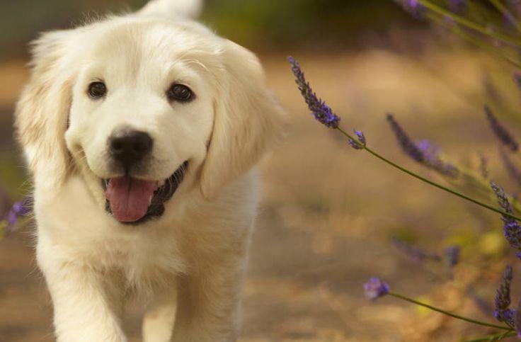 Ten week old female golden retriever puppy walking on path with lavender plants.