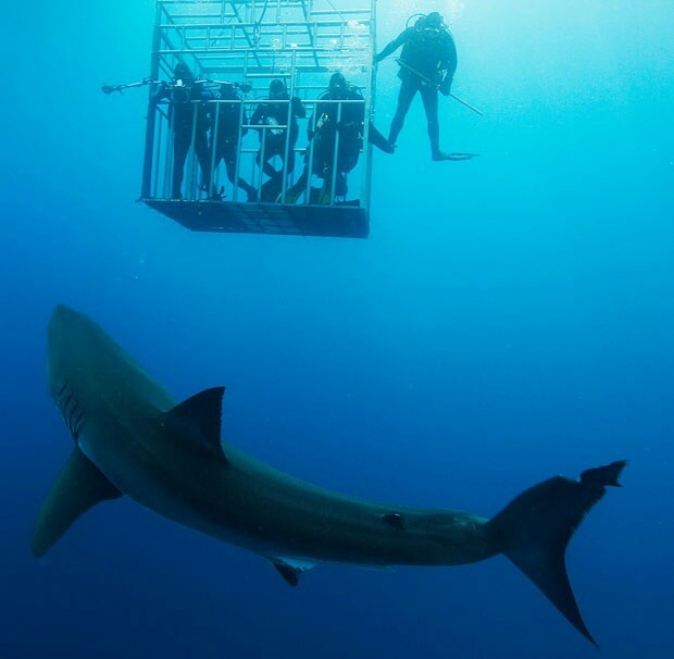 .cage diving with great whites