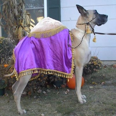 Seriously.... a Great Dane dressed as a camel... just for you .         14 Adorable Dogs In Halloween Costumes [PICTURES]