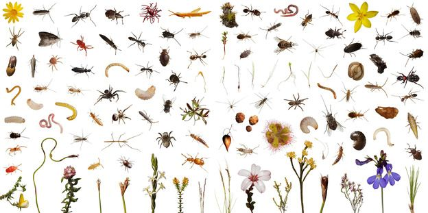 These 113 creatures observed, and then photographed, include over 100 species of plants and animals that use one cubic foot of this highly diverse shrub land over the course of a normal day in Mountain Fynbos, Table Mountain, South Africa. ONE CUBIC FOOT