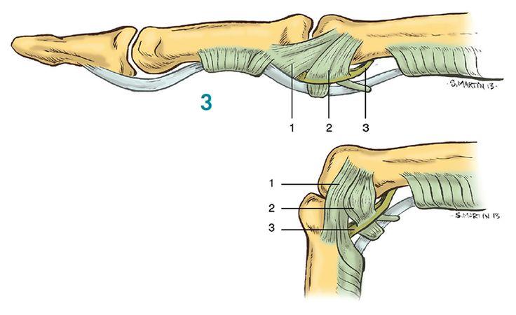 Finger ligaments anatomy