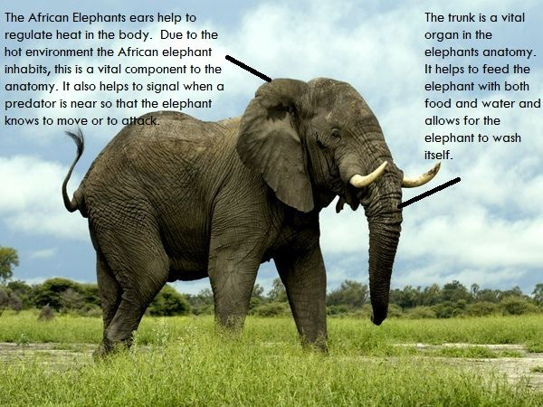 African Elephant Adaptations | Animals | Pinterest | Africans ...