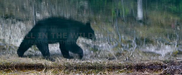 """""""All About Perspective"""" Canadian Rocky Mountains Sometimes the camera lens can be too long.  This was the case with this photo.  Instead of stopping and switching to a shorter focal length I decided the reflection of this black bear in a mountain pond was very interesting.  This image portrays an almost abstract painting of a black bear ambling through the forest.  This is the reflection of the bear and a 180 degree flip of the image."""