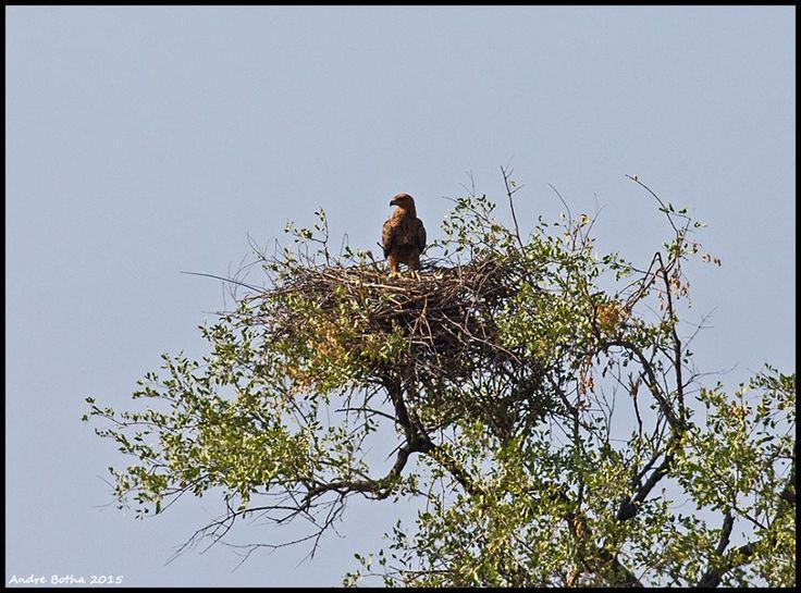 Winter breeding season for large raptors and tree-nesting vultures is in its very early stages. This is a Tawny Eagle attending to a nest north of the Olifants River.