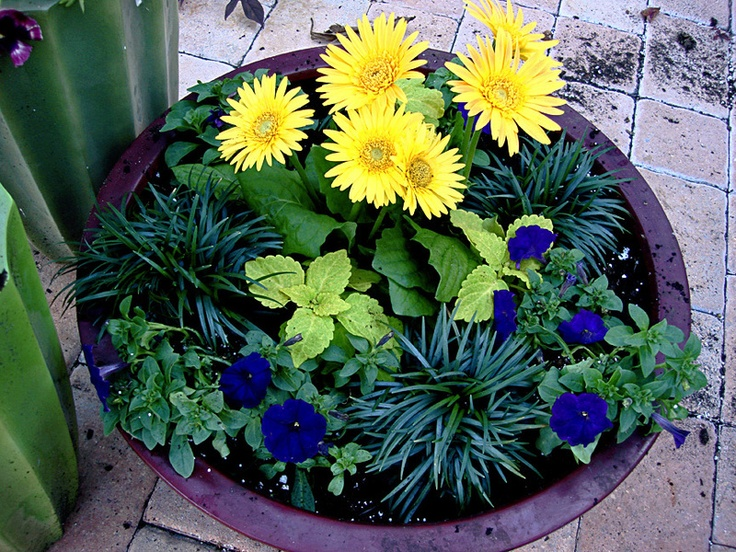 African daisy with mondo grass and blue wave petunias - Wave petunias in containers ...