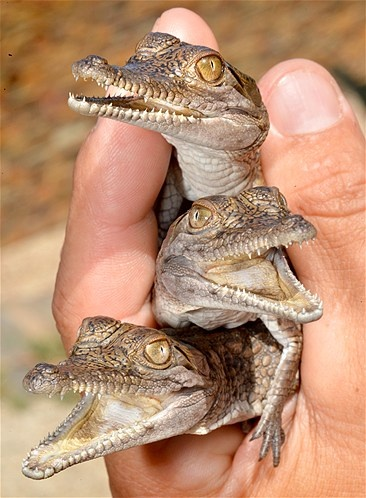 Freshwater crocodile hatchlings - Wild Action Zoo, Macedon, Australia