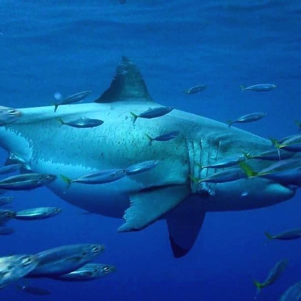 Best 25+ Great white shark pictures ideas on Pinterest   Shark pictures, Tiburon megalodon and ...